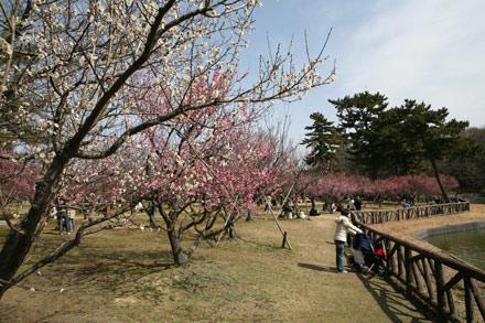岡崎の風景-南公園の梅林