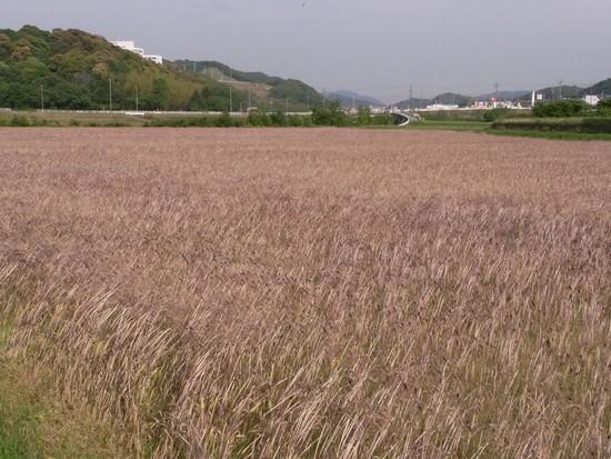 藤川とむらさき麦