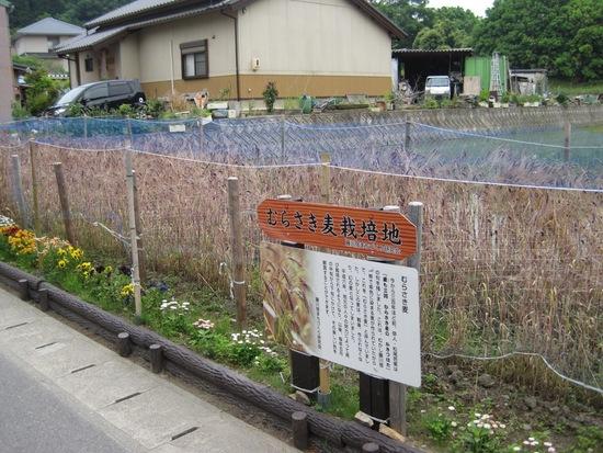 藤川宿むらさき麦