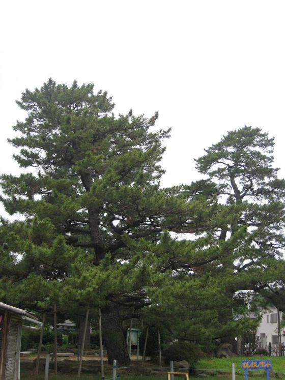土呂陣屋の松(岡崎市指定天然記念物)ふるさとの名木5