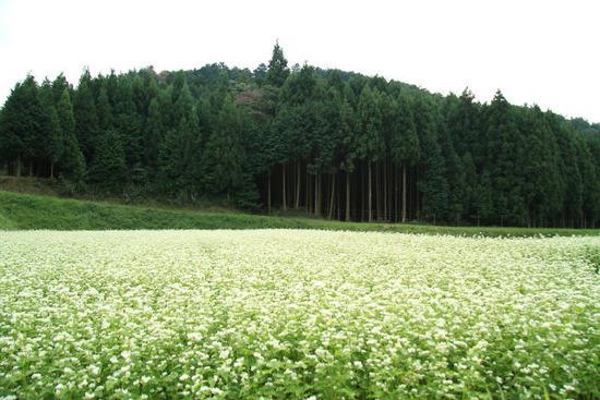 蕎麦の花のある風景