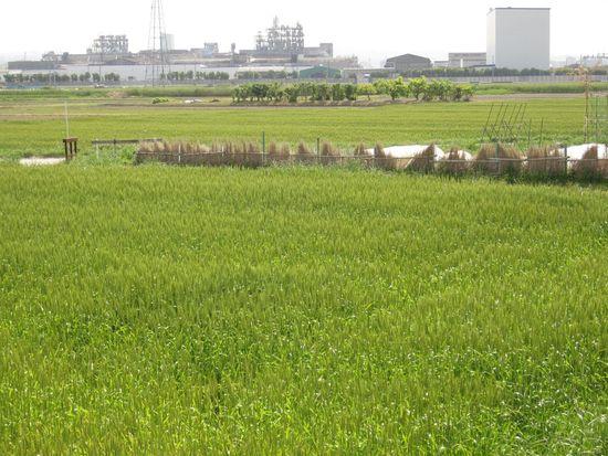東本郷町麦畑