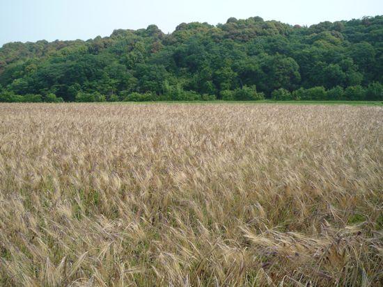 むらさき麦