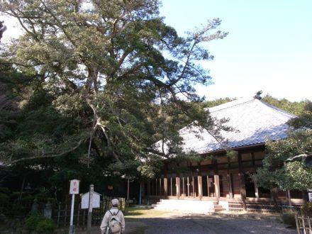法蔵寺のイヌマキ