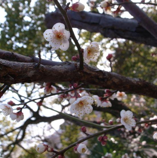 馥郁たる梅の香はもう間近