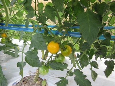 奇跡のトマト