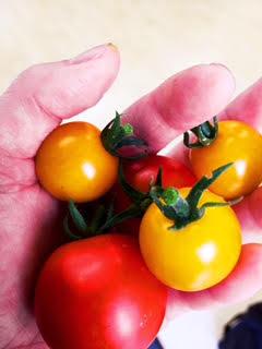 P-BESE清水店で育てたトマト