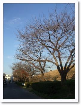 桜の木がずらりと
