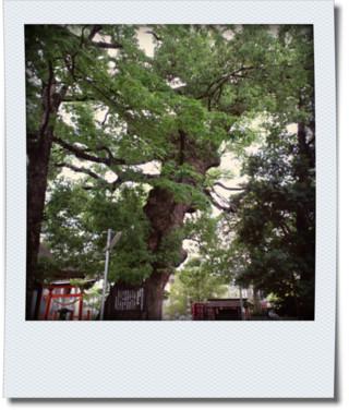 天然記念物の木