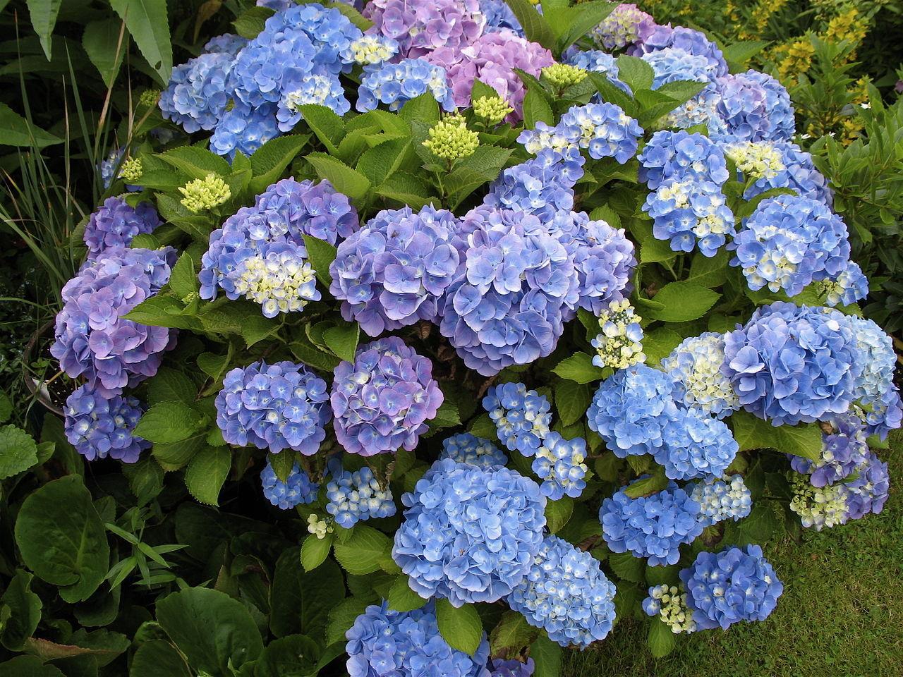梅雨の花といえば・・・紫陽花って、どんな花?