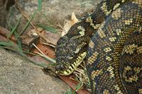 行方不明の赤ちゃんヘビ~無事に見つかったよ