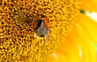 花粉を運んでくれるのはだぁれ~がんばれ、日本のハチたち