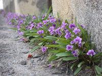 4月の国語は『すみれ』~すみれって、どんな花?