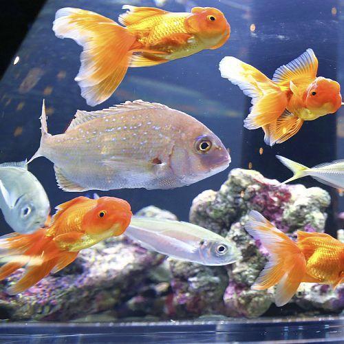 タイと金魚!?