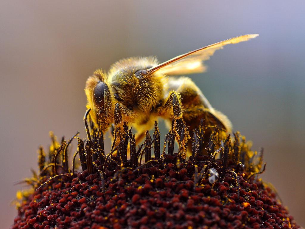 ミツバチがいないいない病~ICチップで原因解明だ!
