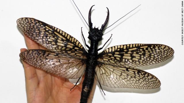 世界最大の水生昆虫!?