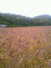 むらさき麦まつり