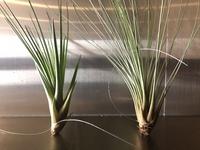 新入りの観葉植物