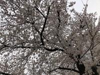 桜城址公園の桜 満開