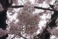 岡崎城公園でのお花見