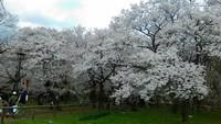 天下第一の桜 高遠
