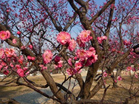 岡崎市 南公園の梅まつり