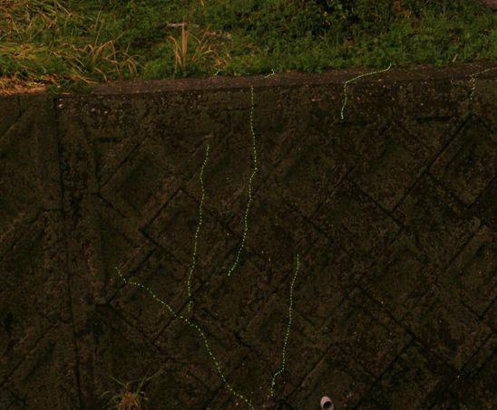 ゲンジボタルの幼虫上陸(その2)