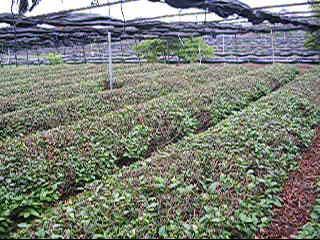 抹茶作りの極意を学ぶ!「お茶作りボランティア」研修会レポート