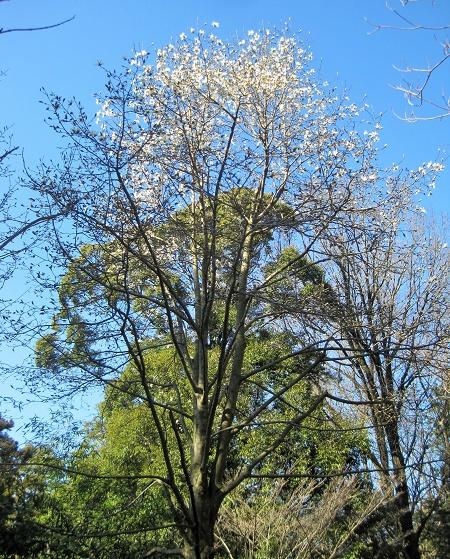 春爛漫「ショウジョウバカマ」が開花inおかざき自然体験の森