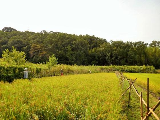 昔ながらの稲作体験!「稲刈り」編