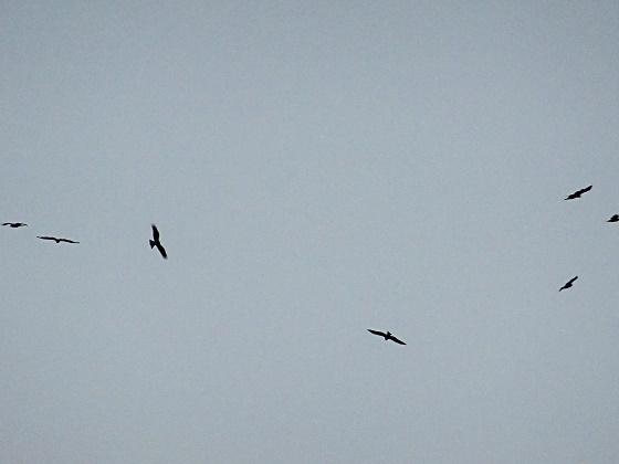 「タカ柱」鳥川の空に出現!