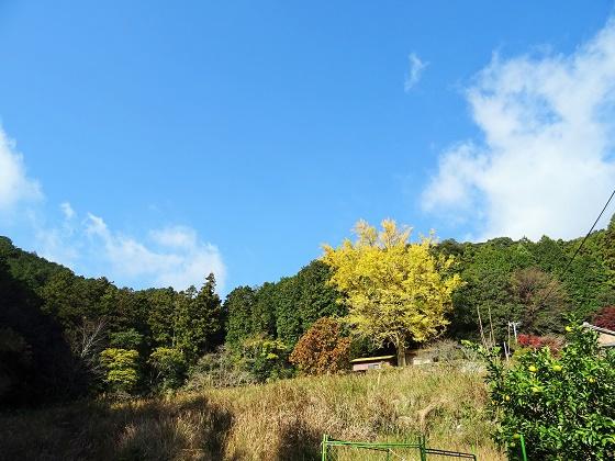 慈徳院の「大イチョウ」黄葉真っ盛り!