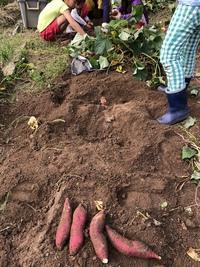親子でサツマイモ掘り