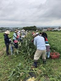 ジャガイモ & トウモロコシ 収穫したよ。