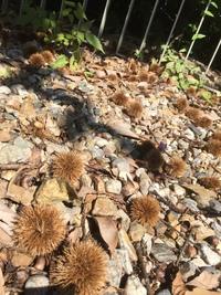 『どんぐりを土に埋めたら、栗の木がはえてくるかなぁ?』