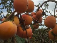 『柿を採っていかんかね?』