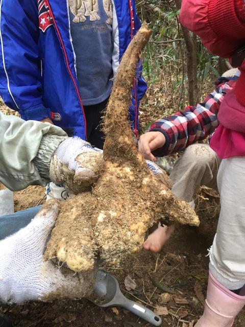 自然薯を掘るコツを、伝授いただきました!