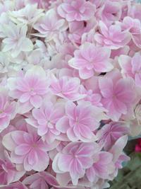 母の日に紫陽花( *´艸`) 2018/05/11 17:53:20