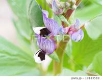PIXTAで売れた写真 <ソラマメの花>