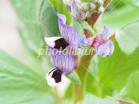 フォトライブラリーで売れた写真 <ソラマメの花>