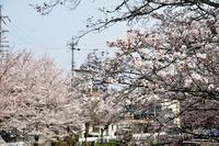 藤岡支所前の桜は贅沢な景色でした。