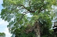 豊田市の墓苑の脇にある名木。