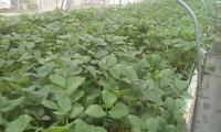 花芽分化の具合と植付け時期