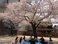 桜の満開は何時
