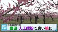 桃の産地、愛知県豊田市の猿投地区で川中島白桃の花粉づけ