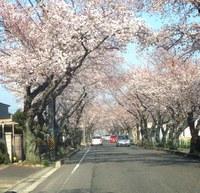 豊田高専の桜並木