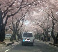 桜満開!桜ふぶき^ ^
