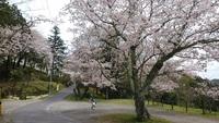 ときなんの花見スポットはココ!常磐南小学校下の桜並木