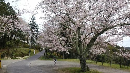 常磐南小学校下の桜