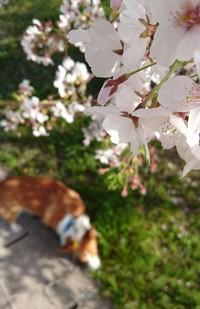 ワンコもお花見